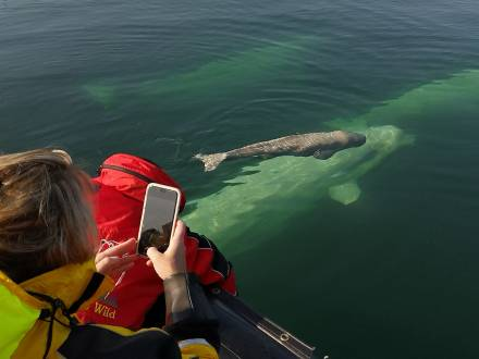 Beluga whale and calf at Seal River Heritage Lodge, photo by Boomer Jerritt