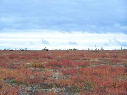 Gangler's Caribou Migration
